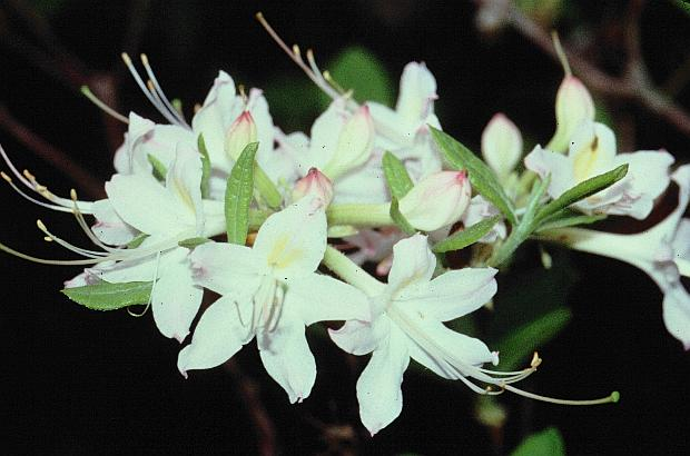 Native azaleas rhododendron alabamense introduction mightylinksfo Images